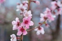 Крупный план цветения персика на запачканной растительности Стоковые Изображения RF
