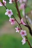 Крупный план цветения персика на запачканной растительности Стоковая Фотография