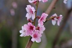 Крупный план цветения персика на запачканной растительности Стоковое Изображение RF