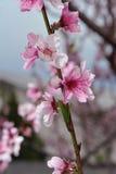 Крупный план цветения персика на запачканной растительности Стоковое Фото