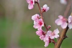 Крупный план цветения персика на запачканной растительности Стоковая Фотография RF