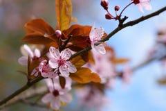 Крупный план цветения Сакуры Стоковые Изображения RF