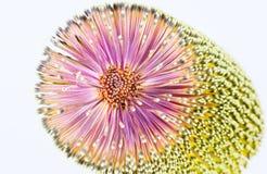 Крупный план цветеня Banksia Стоковые Изображения RF