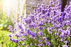 крупный план цветет лаванда Стоковая Фотография RF