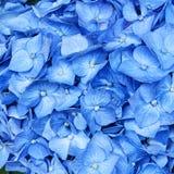крупный план цветет hortensia стоковая фотография rf