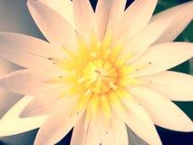 Крупный план цветка белого лотоса Стоковые Фотографии RF