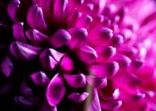 Крупный план цветка георгина Стоковое Изображение