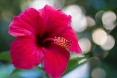 Крупный план цветка гибискуса стоковые фотографии rf