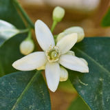 Крупный план цветка дерева лимона Стоковые Фото