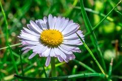 Крупный план цветка маргаритки в траве Стоковая Фотография