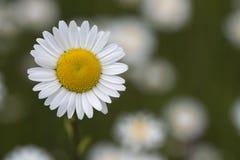 Крупный план цветка маргаритки на запачканной предпосылке Стоковые Фото