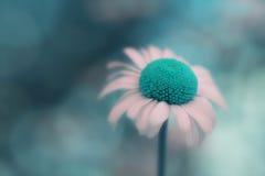 Крупный план цветка маргаритки с сюрреалистическим голубым разбивочным цветом Стоковые Изображения