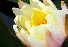 Крупный план цветка лотоса beautyful старой розы молодого Стоковые Изображения RF