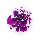 Крупный план цветка петуньи Стоковые Изображения