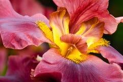 Крупный план цветка радужки стоковое фото rf