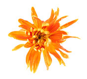 Крупный план цветка хризантемы Стоковая Фотография RF