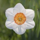 Крупный план цветка Daffodil Стоковые Изображения RF