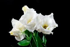 Крупный план цветка eustoma на черной предпосылке Стоковые Изображения