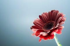 Крупный план цветка gerbera открытки красный с водой падает безшовное предпосылки серое Стоковое Изображение RF