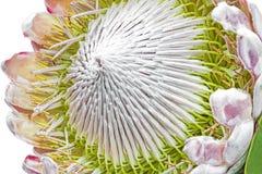 Крупный план цветка Protea Стоковая Фотография