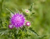 Крупный план цветка Thistle Стоковые Изображения