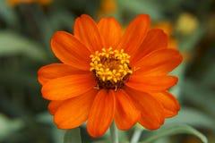 Крупный план цветка Zinnia Стоковая Фотография