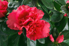 Крупный план цветков азалии Стоковое Изображение RF