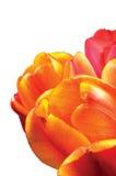 Крупный план цветков, апельсина, красных и желтых тюльпана лепестков, изолированный вертикальный крупный план макроса тюльпанов Стоковая Фотография RF