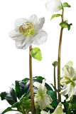Крупный план цветков и листьев морозника Стоковая Фотография
