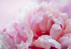 Крупный план цветков пиона Стоковое Изображение RF