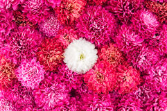 Крупный план цветков хризантем Стоковые Изображения RF