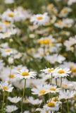 Крупный план цветя маргариток вол-глаза Стоковая Фотография RF