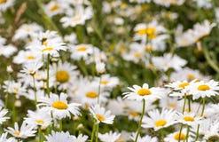 Крупный план цветя маргариток вол-глаза Стоковое Фото