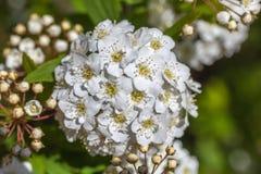 Крупный план цветя spirea венка кустарника bridal, флористического backgrou Стоковое Изображение RF