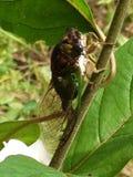 Крупный план цикады Стоковые Фотографии RF