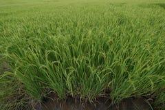 Крупный план шипа риса в рисовых полях стоковое фото rf