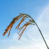 Крупный план шипа риса в рисовых полях стоковые изображения rf