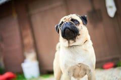 Крупный план щенка мопса Стоковое фото RF
