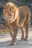 Крупный план льва стоковые фотографии rf