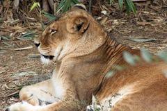 Крупный план львицы Стоковые Изображения