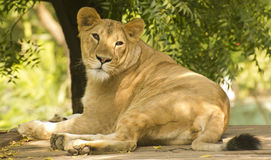 Крупный план львицы Стоковая Фотография RF