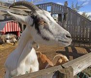 Крупный план любознательной козы Стоковые Фото