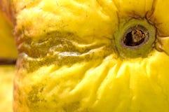 Яблоко с отверстием глиста Стоковая Фотография
