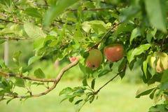 Крупный план яблони Стоковая Фотография RF