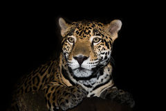 Крупный план ягуара в джунглях на черной предпосылке Стоковая Фотография RF