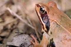 Крупный план лягушки сфокусированный на глазе Стоковые Изображения RF