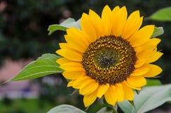 Крупный план яркий желтый солнцецвет Стоковое Изображение RF