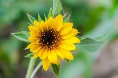 Крупный план яркий желтый солнцецвет Стоковая Фотография RF