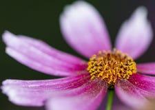 Крупный план яркого розового цветеня Coreopsis Стоковая Фотография RF