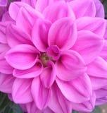 Крупный план яркого фиолетового цветка георгина Стоковое Фото